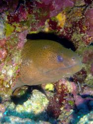 Yellowmargin moray eel (Gymnothorax flavimarginatus) Photo