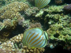 Ornate butterflyfish (Chaetodon ornatissimus) Photo
