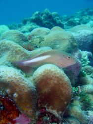 Arc-eye hawkfish (Paracirrhites arcatus) Photo