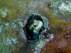 Redspotted blenny (Blenniela periophthalmus) Photo