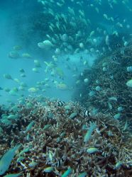 An aggregation of blue-green chromis (Chromis viridis) with a few black and white humbug dascyllus (Dascyllus aruanus). Photo