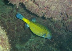 Yellow boxfish (Ostracion cubicus). Photo