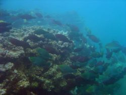 An aggregation of bullethead parrotfish (Chlorurus sordidus) Photo