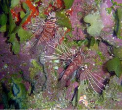 Spotfin lionfish (Pterois antennata) Photo