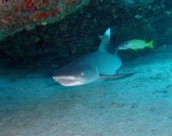Whitetip reef shark (Triaenodon obesus) Photo