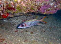 Spotfin squirrelfish (Neoniphon sammara). Photo