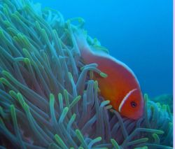 Pink anemonefish (Amphiprion perideraion). Photo