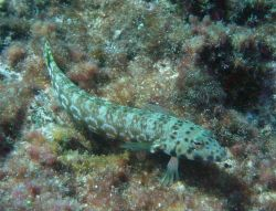 Lizardfish (Synodus variegatus) Photo