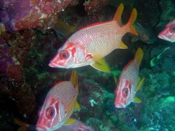 Sabre squirrelfish (Sargocentron spiniferum). Photo