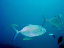 Yellow-spotted trevally (Carangoides orthogrammus). Photo