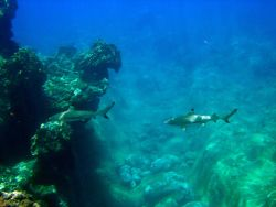 Blacktip reef sharks ( Carcharhinus melanopterus) Photo