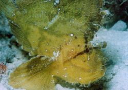 Leaf scorpionfish - yellow variation (Taenianotus triacanthus) Photo