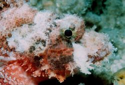 Barchin scorpionfish (Sebastapistes strongia) Photo