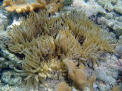A large anemone Photo