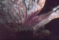 A feather duster worm Photo