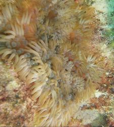 Branching anemone. Photo
