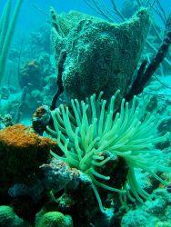 Giant Caribbean anemone, barrel sponge, and encrusting sponge. Photo