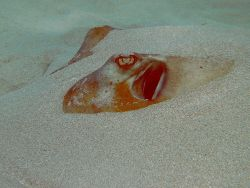 Southern Ray in sand. Photo