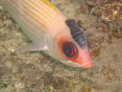Squirrelfish with an isopod attached to its head. Photo