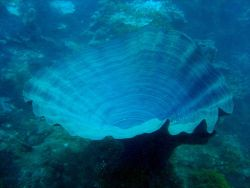 A large blue vase sponge (Kallypilidion sp.?) Photo