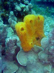 Yellow sponge Photo