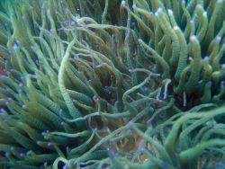 Sea anemone (Heteractis sp.) Photo