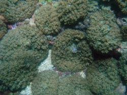 Coral (Fungia sp Photo