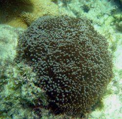 Large anemone Photo