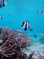 Reef scene with damselfish (Dascyllus aruanus) in foreground. Photo