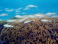 Reef scene with school of goatfish (Mulloidicthys sp.) Photo
