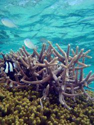 Reef scene with damselfish (Dascyllus aruanus) in left foreground. Photo