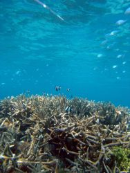 Reef scene with damselfish (Dascyllus aruanus) in distance. Photo