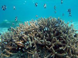 Reef scene with damselfish (Dascyllus aruanus). Photo