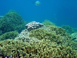 Staghorn damsel above the reef (Amblyglyphidodon curacao) Photo