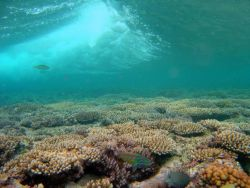 Fivestripe (Thalassoma quinquevittatum) wrasse in foreground with breaking wave over shallow reef Photo