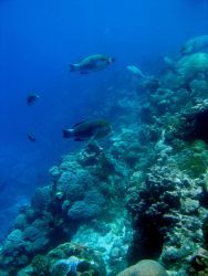 Reef scene with parrotfish Photo