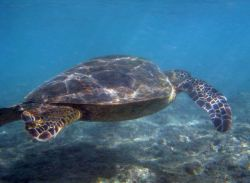 Green turtle swimming Photo