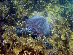 Green turtle on reef Photo