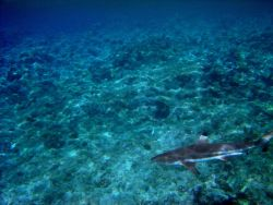 Blacktip reef shark (Carchaninus melanopterus). Photo