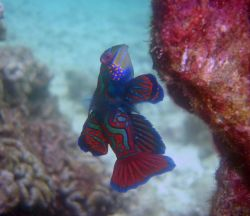 Mandarinfish (Synchiropus splendidus). Photo