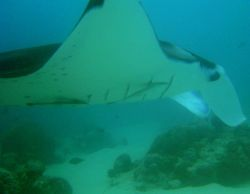 Manta ray (Manta birostris) at German Channel. Photo