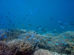 Reef scene with school of damselfish. Photo