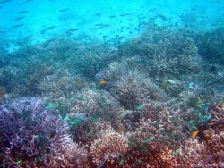 Reef scene with green damselfish. Photo