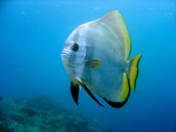 Pinnate spadefish (Platax pinnatus). Photo