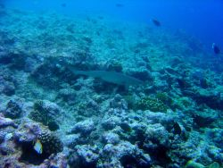 Whitetip shark (Triaenodon obesus). Photo