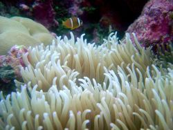 Large anemone and orange-fin anemonefish (Amphiprion chrysopterus) Photo