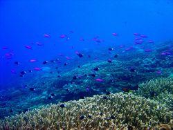 Reef scene with school of purple queen fish (Pseudanthias pascalus) and bicolor chromis (Chromis margaretifer) Photo