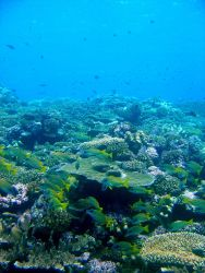Reef scene with school of bluestripe snapper (Lutjanus kasmira). Photo