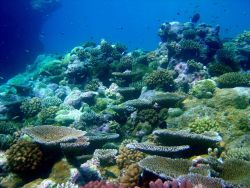 Cleaner wrasse flitting about over beautiful coral garden Photo