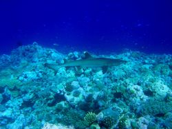 White tip shark (Trianodon obesus) with accompanying remora. Photo